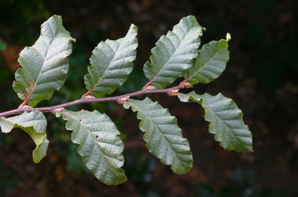 Nothofagus macrocarpa