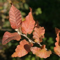 Nothofagus macrocarpa||<img src=./_datas/f/4/6/f463n355sv/i/uploads/f/4/6/f463n355sv//2015/09/06/20150906221152-5b5afaa9-th.jpg>