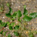 Nothofagus macrocarpa||<img src=./_datas/f/4/6/f463n355sv/i/uploads/f/4/6/f463n355sv//2015/09/06/20150906221206-bc870269-th.jpg>