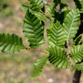 Nothofagus macrocarpa||<img src=./_datas/f/4/6/f463n355sv/i/uploads/f/4/6/f463n355sv//2015/09/06/20150906221218-d0112ae3-th.jpg>
