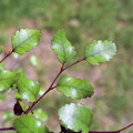Nothofagus truncata||<img src=./_datas/f/4/6/f463n355sv/i/uploads/f/4/6/f463n355sv//2015/09/12/20150912160814-886c3e78-th.jpg>