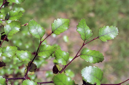 Nothofagus truncata