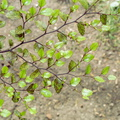 Nothofagus truncata||<img src=./_datas/f/4/6/f463n355sv/i/uploads/f/4/6/f463n355sv//2015/09/12/20150912160823-ee58ee7c-th.jpg>